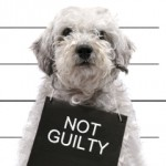 Dog with Not Guilty sign around his neck